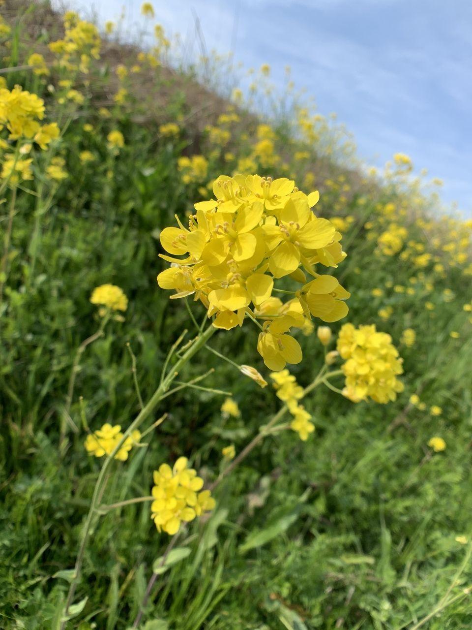 江戸川の土手に菜の花が満開です!もう春ですね。