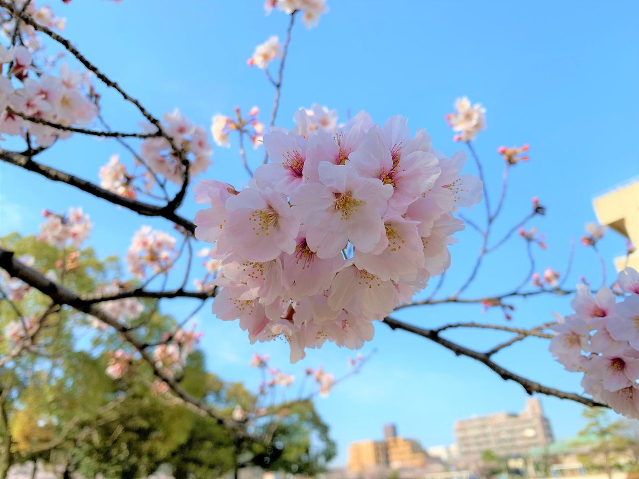 もう桜が満開ですね!丹後小学校の前の通りがとてもきれいです♪